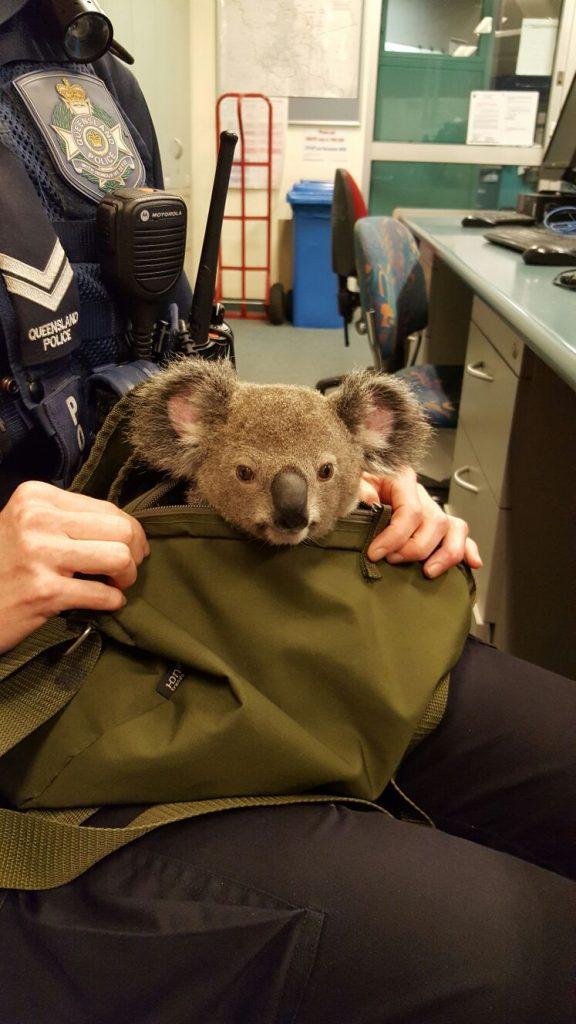 koala-image5