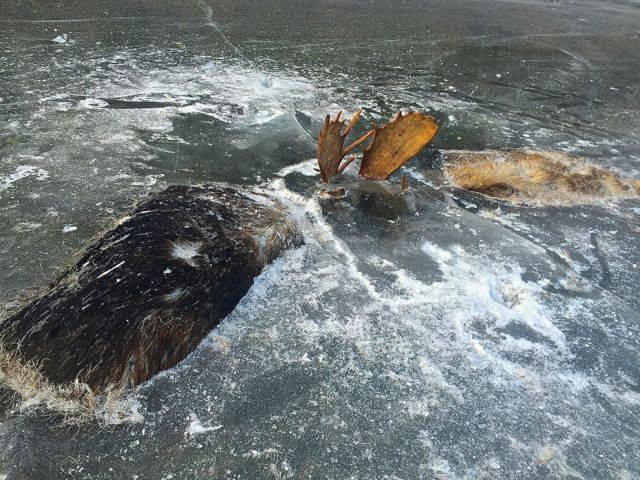 Bull moose battling for attention and to the death. Jeff Erickson/Facebook