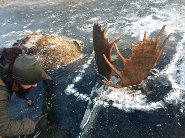Moose frozen in battle in Alaska. Jeff Erickson/Facebook