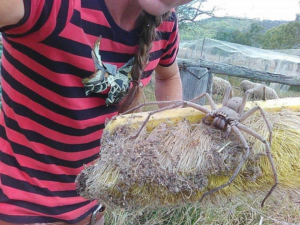 Charlotte, a huntsman spider, was rescued from on old farmhouse in Queensland, Australia.Barnyard Betty's Rescue/Facebook.