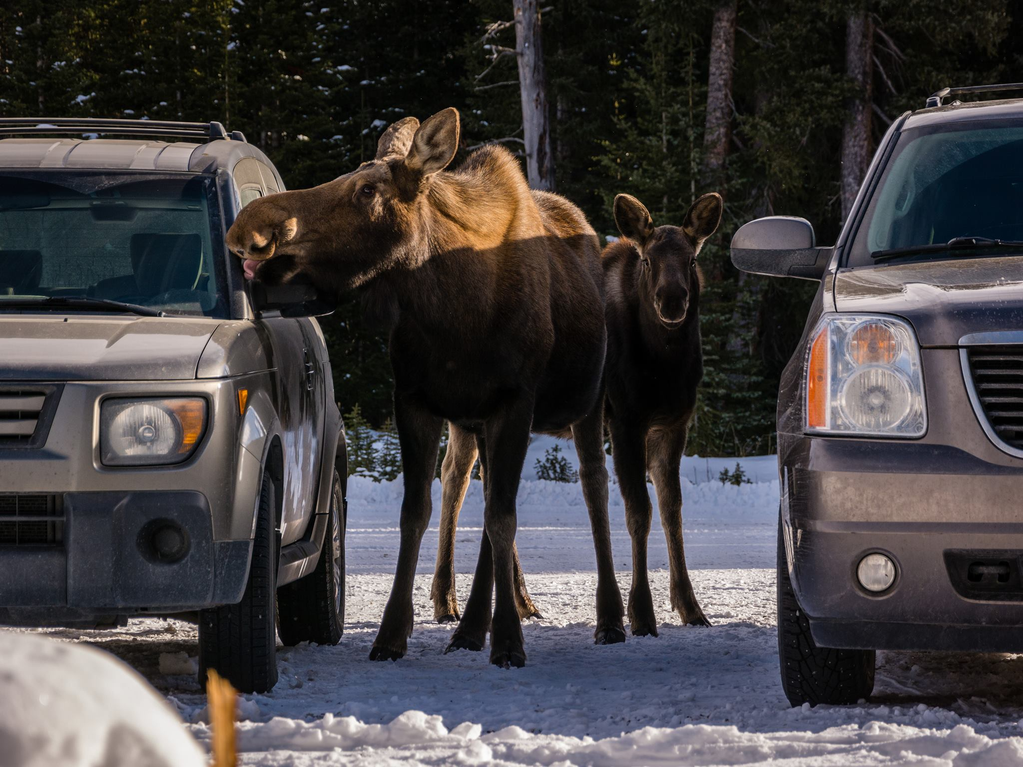 Mother moose teaching her calf the art of the car wash. Elaine Kennedy/Alberta Parks/Facebook