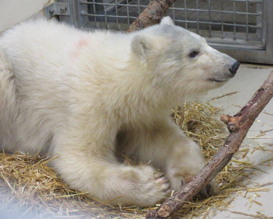 An orphaned male polar bear cub is settling into the Assiniboine Park Zoo/Facebook