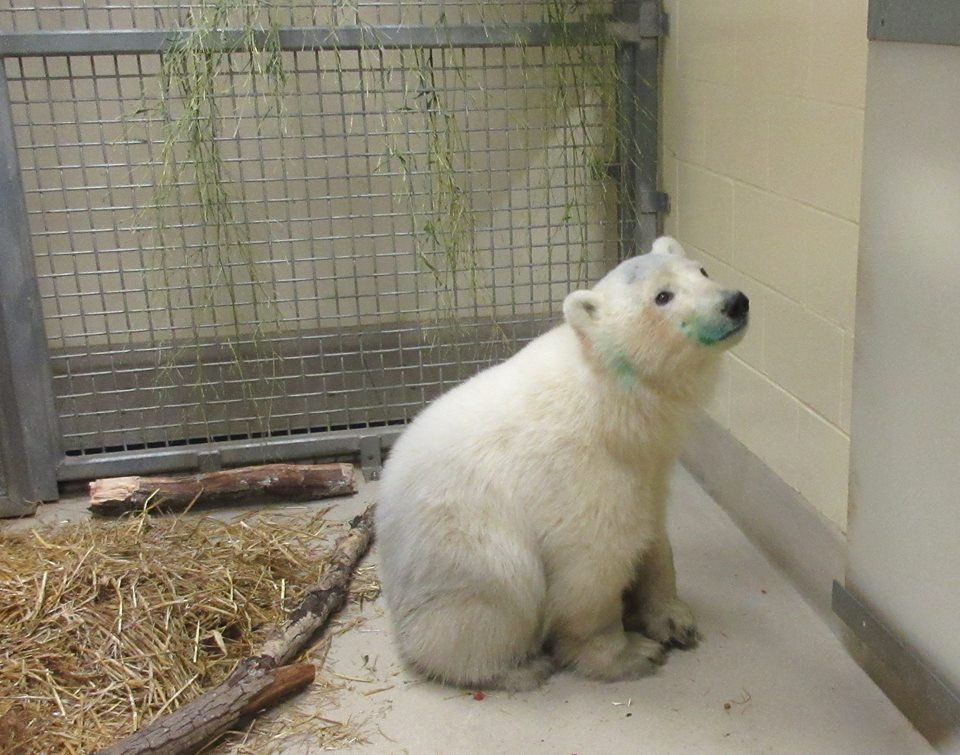 An orphaned female polar bear cub arrived at the Assiniboine Park Zoo in November/Facebook