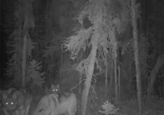 cenovuswolves