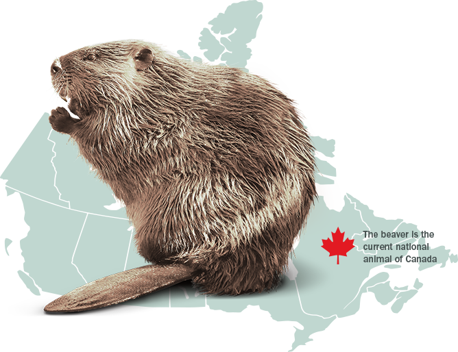 intriguing facts about the beaver mammal Beaver is the largest rodent of north america it's time to read out the most interesting beaver facts for kids it is reasonable to assume that beavers are marine mammals instead of simply terrestrial they build many dams not only to seek protection from potential predators but also due to the fact.