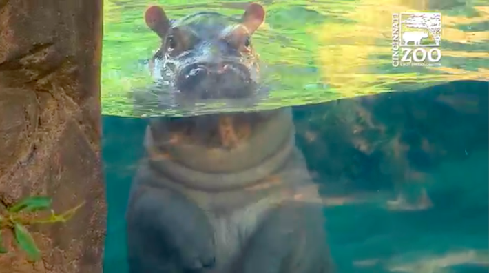Fiona The Baby Hippo Is Swimming And Diving Like A Champ