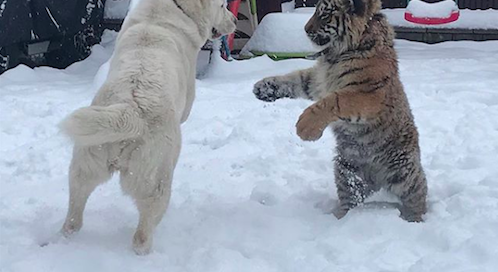 Russian Man Features His Tigers And Dogs Playing In Incredible