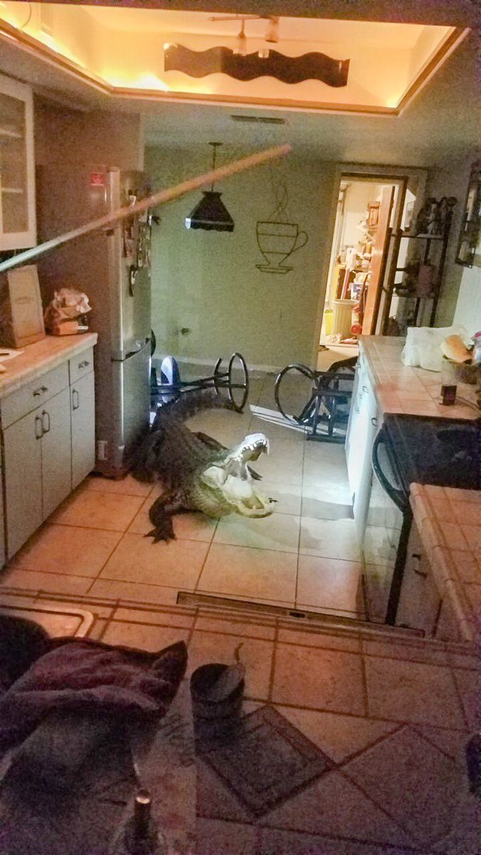 Huge alligator breaks into Florida home - Critter FilesCritter Files